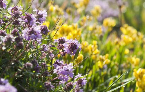 Wild Flower Planting