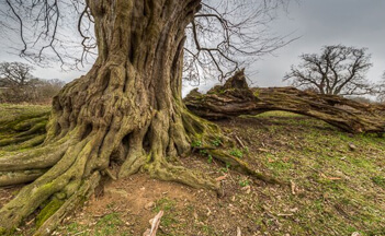 hatfield-forest-hornbeam